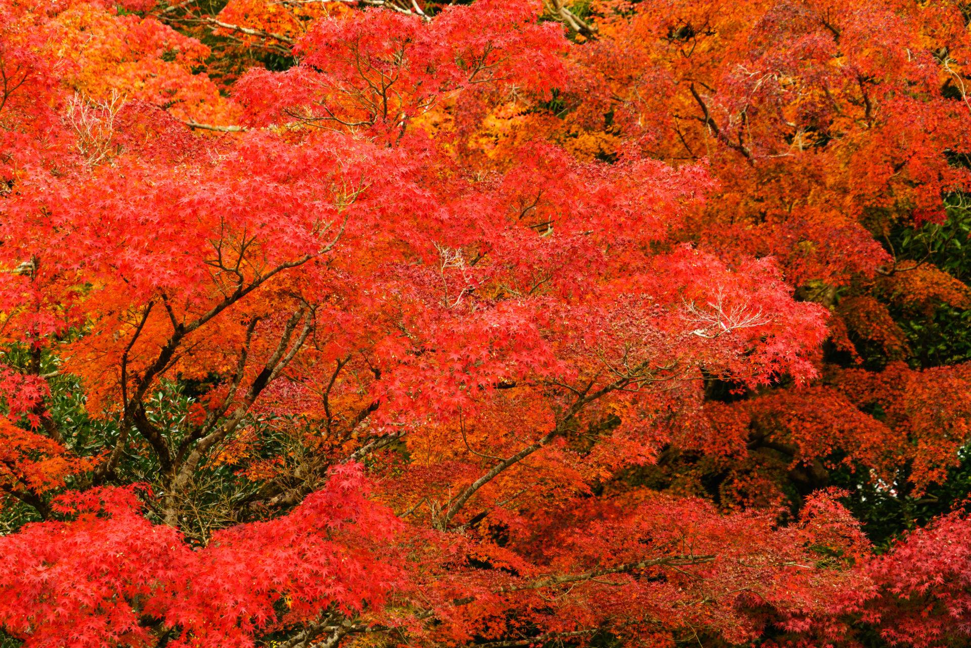 2020年京都的楓葉最佳觀賞時期是