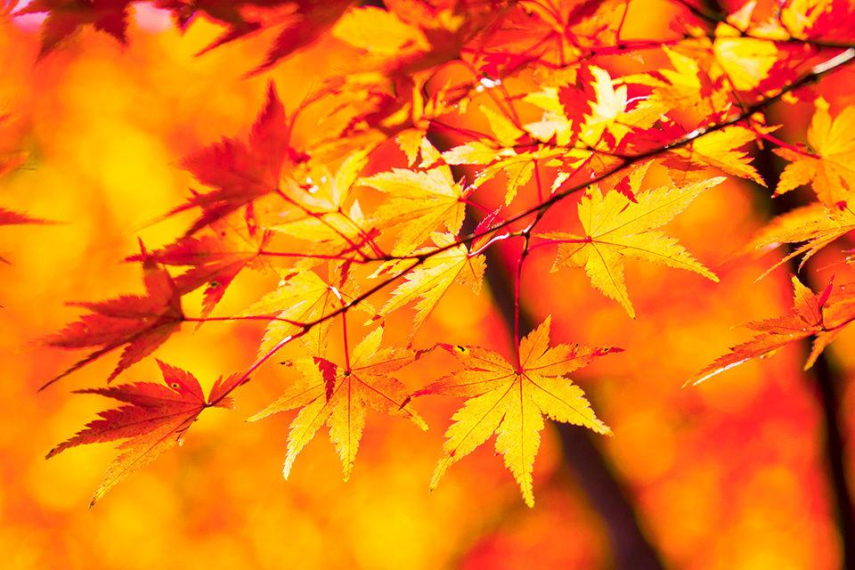 去深究一下紅葉吧