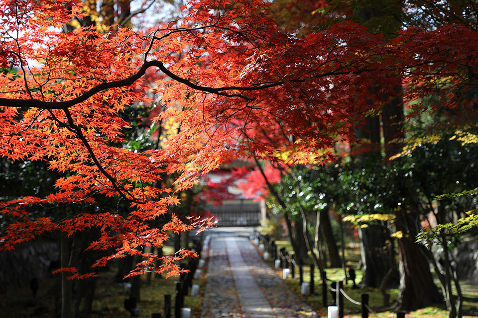 只有在秋天的京都才能看到的楓葉真是令人陶醉的絕景