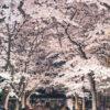說到京都的春天,就會想到「櫻花」