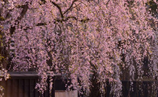 2021年推薦的櫻花絕景景點