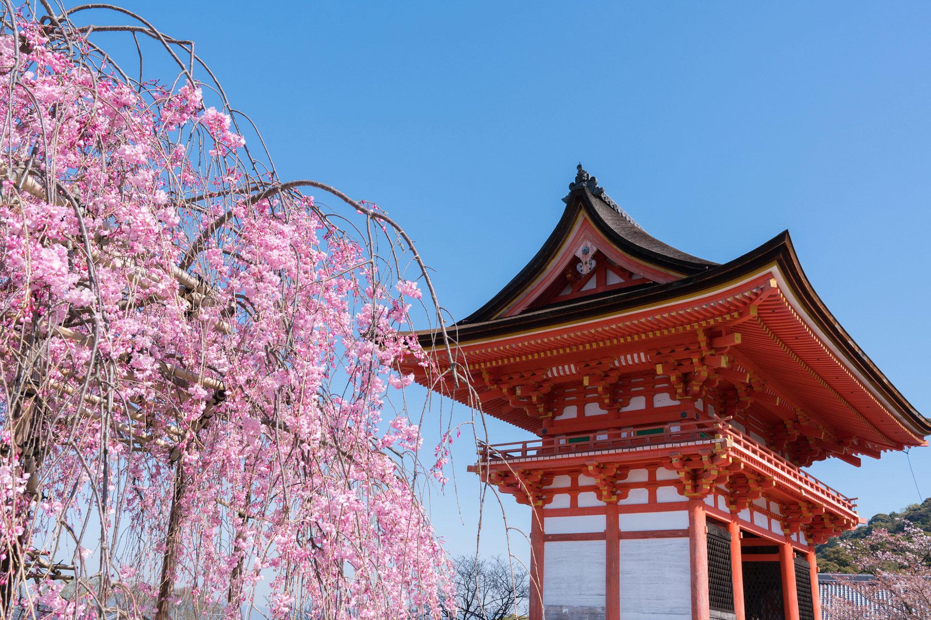 櫻花絕景是