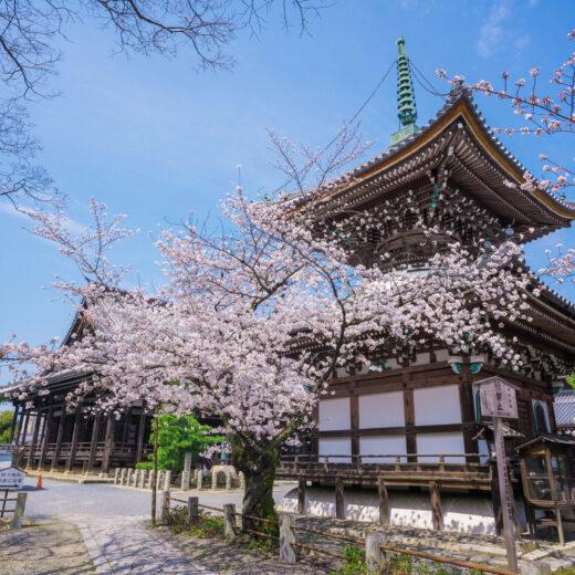 櫻花所營造出的壓軸景色是?
