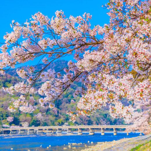 在京都看到的絕景櫻花樹下度過悠閒的時光吧?
