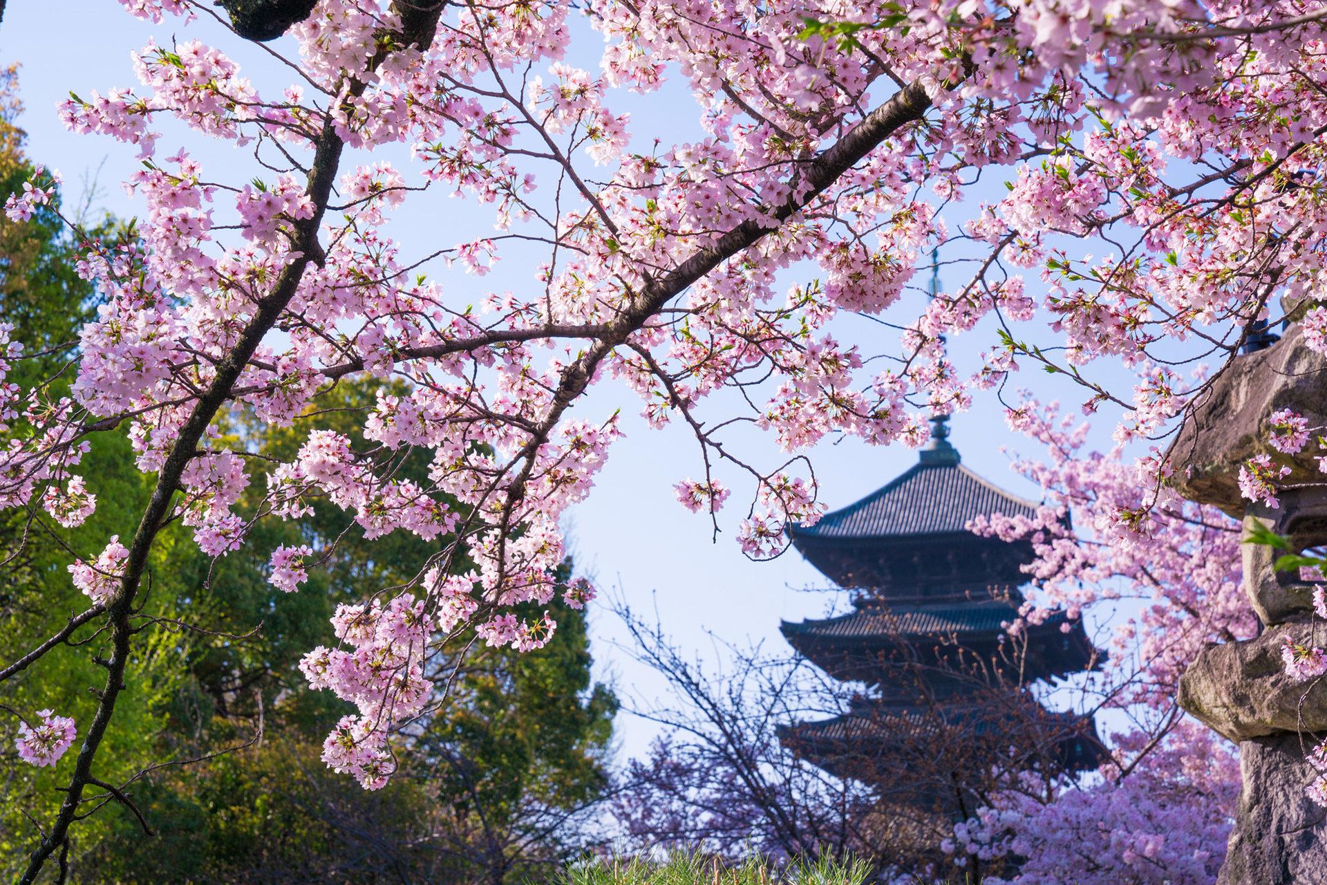 悠閒地欣賞京都櫻花的方法是?