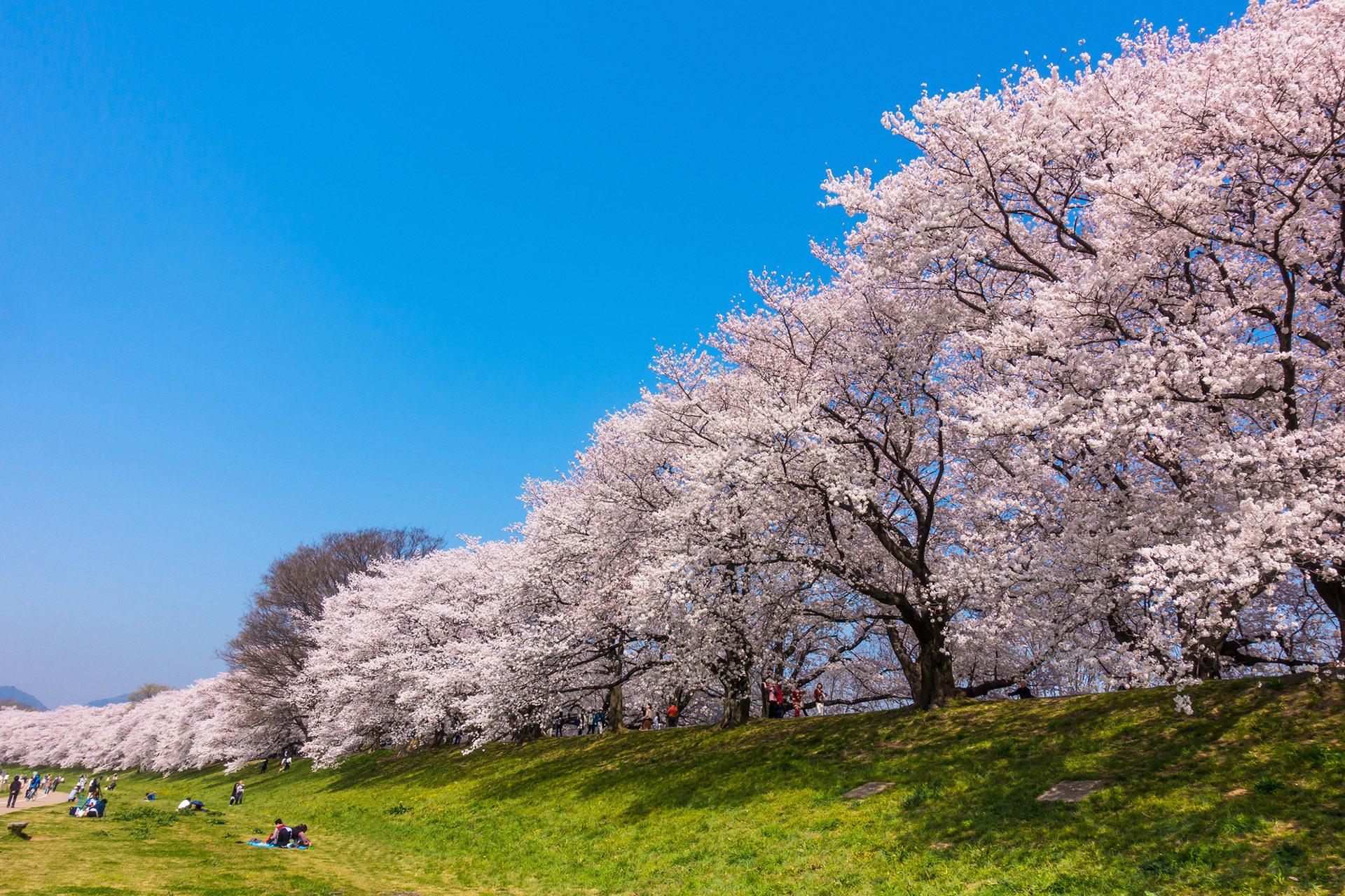 推薦京都的背割堤