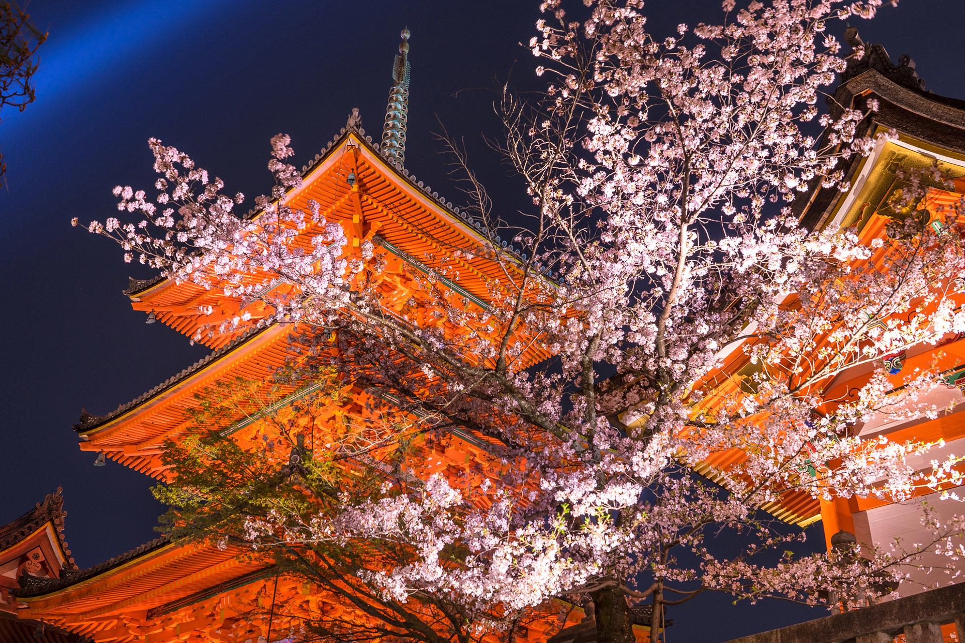 晚上能看到閃耀的櫻花的地方是??