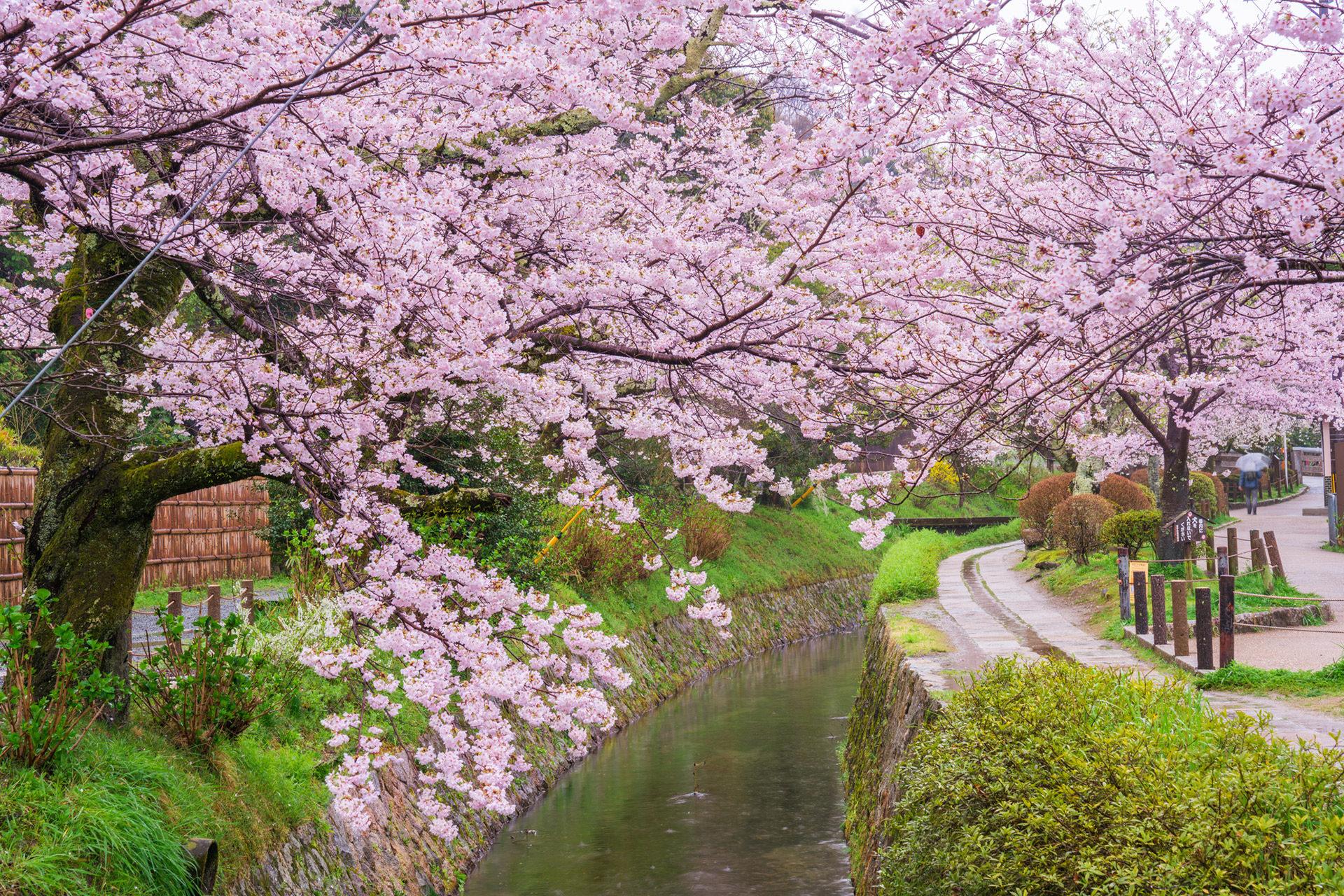 京都的櫻花名勝是