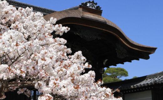 京都「仁和寺」美麗的櫻花