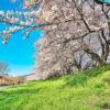 京都最美的櫻花名勝是?