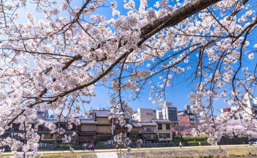 京都有很多櫻花名勝。