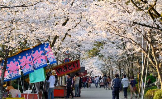 想好好享受京都的櫻花!