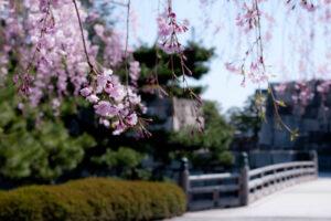 京都府內第6位的櫻花名勝!從二條城看到的美麗景色是?