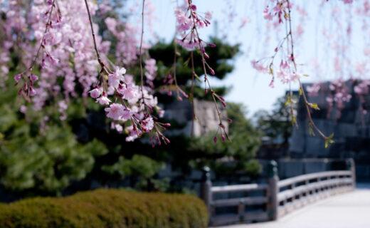 京都府內第6位的櫻花名勝