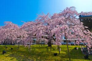 2021年!最漂亮的京都櫻花景點是?
