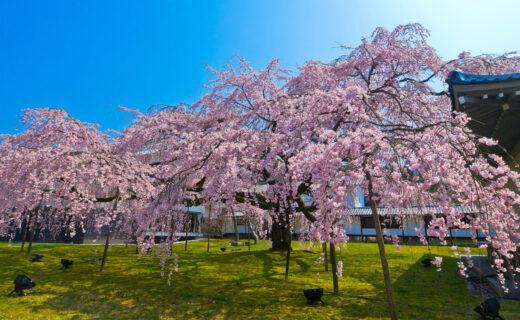 最漂亮的京都櫻花景點是