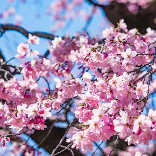 現在京都的櫻花狀況是
