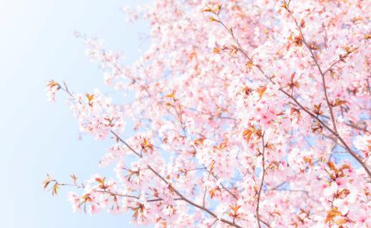 彙集了櫻花名勝的「京都」