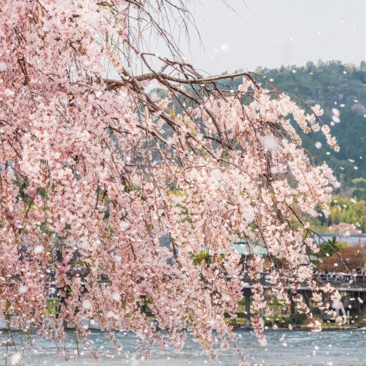 櫻花時節推薦!