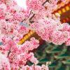2021年3月京都櫻花的狀況是?