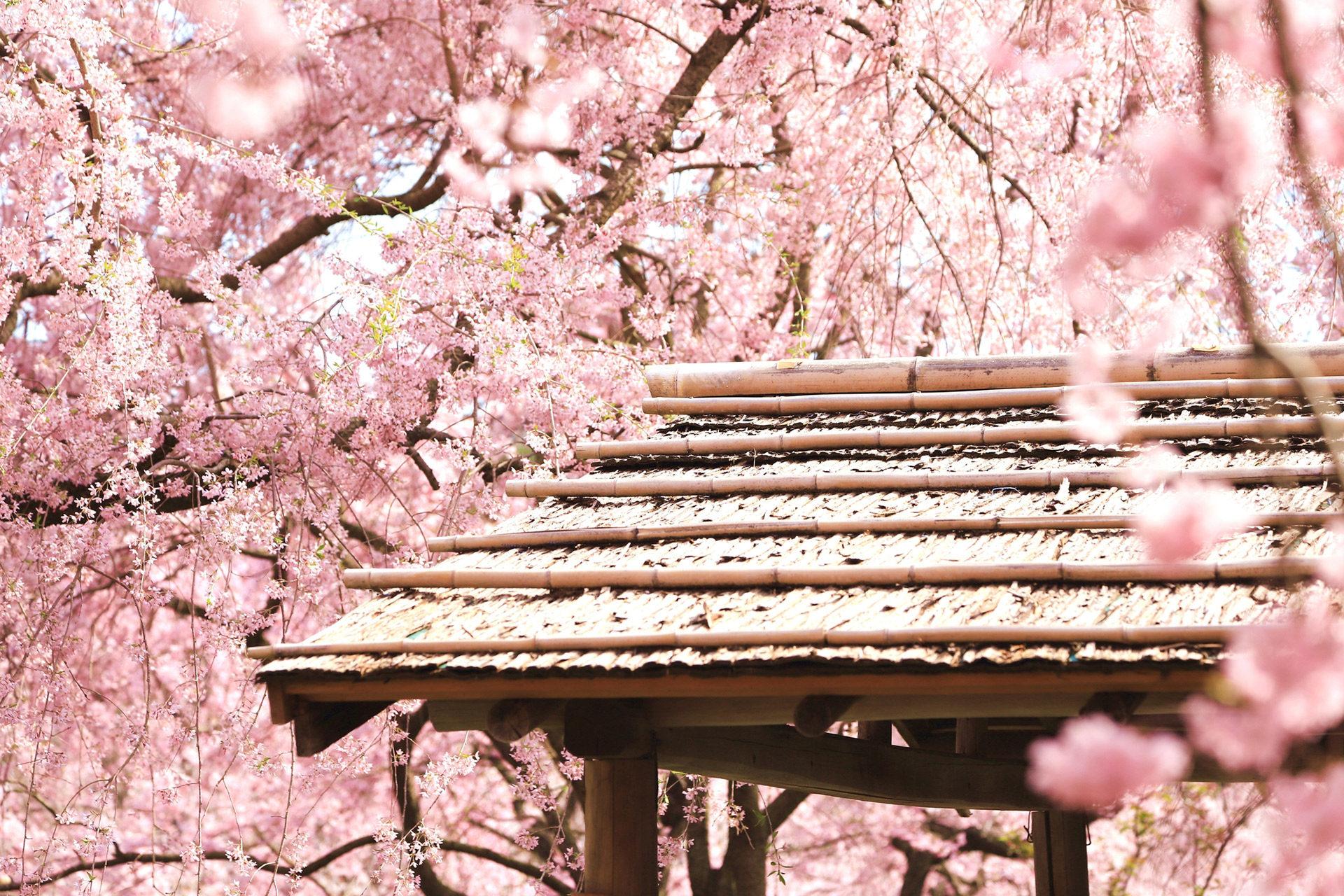 京都櫻花盛開的時期是什麼時候