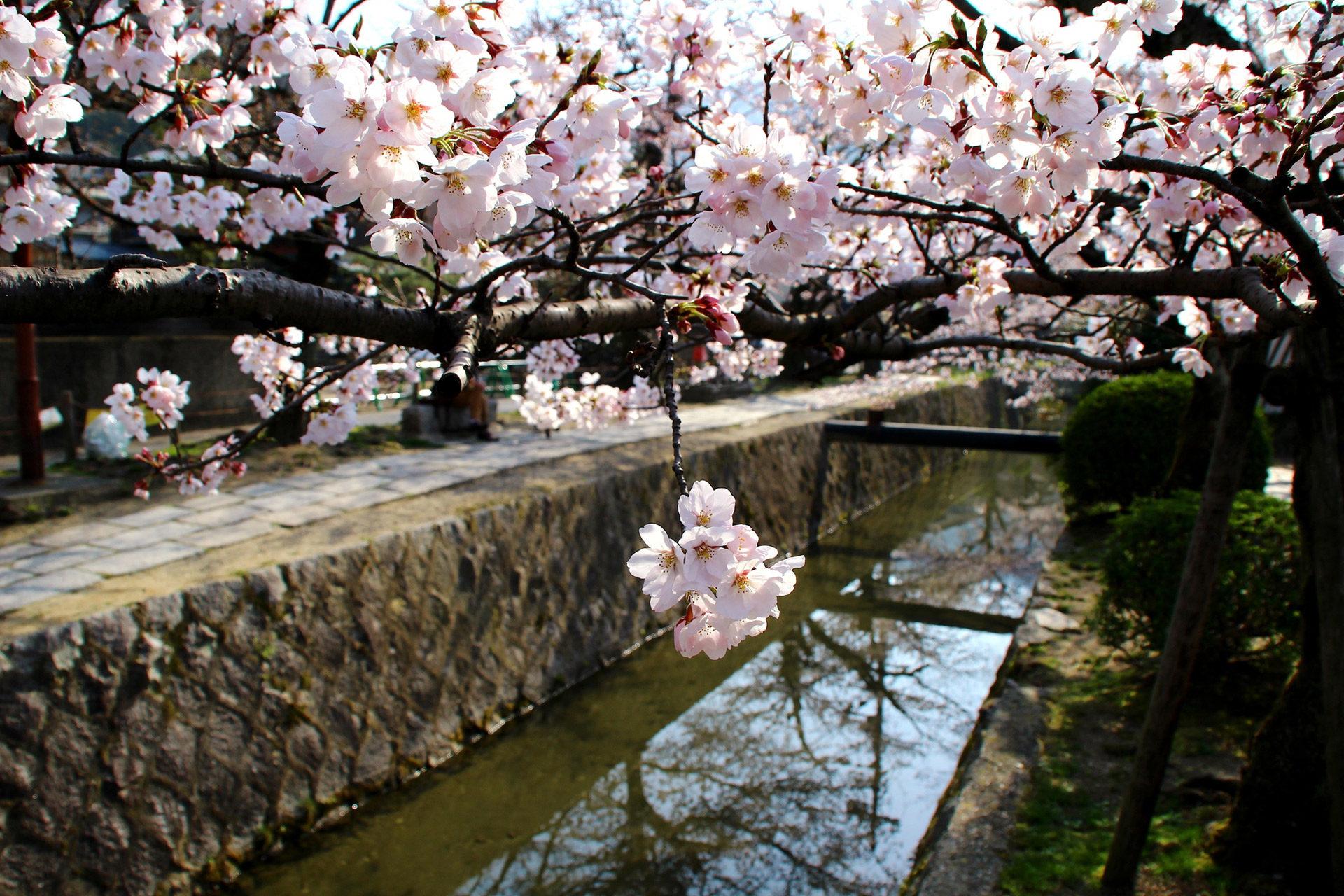 用實況攝像機,來看看京都櫻花的盛開情况吧!