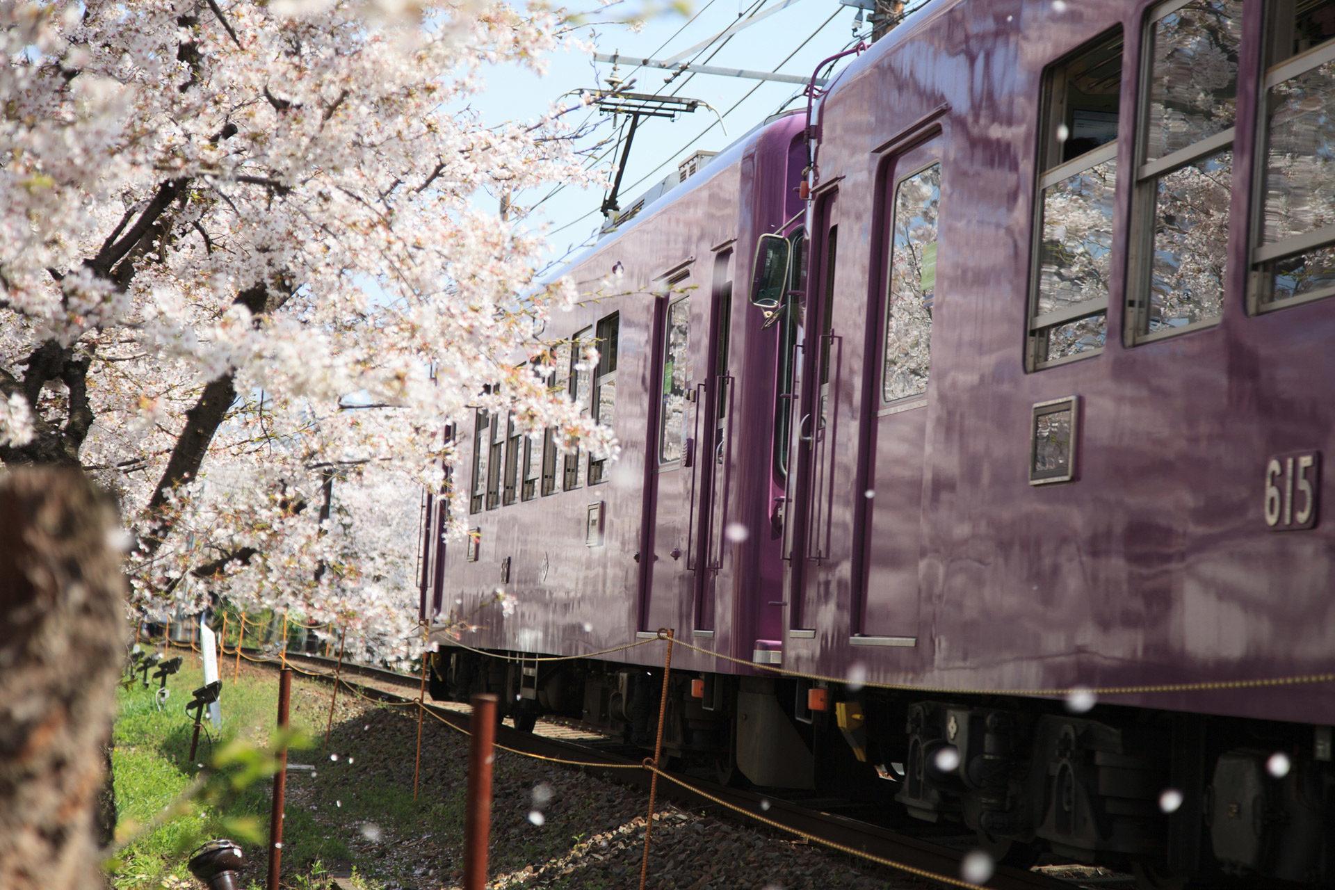 京都美麗的櫻花隧道知道嗎