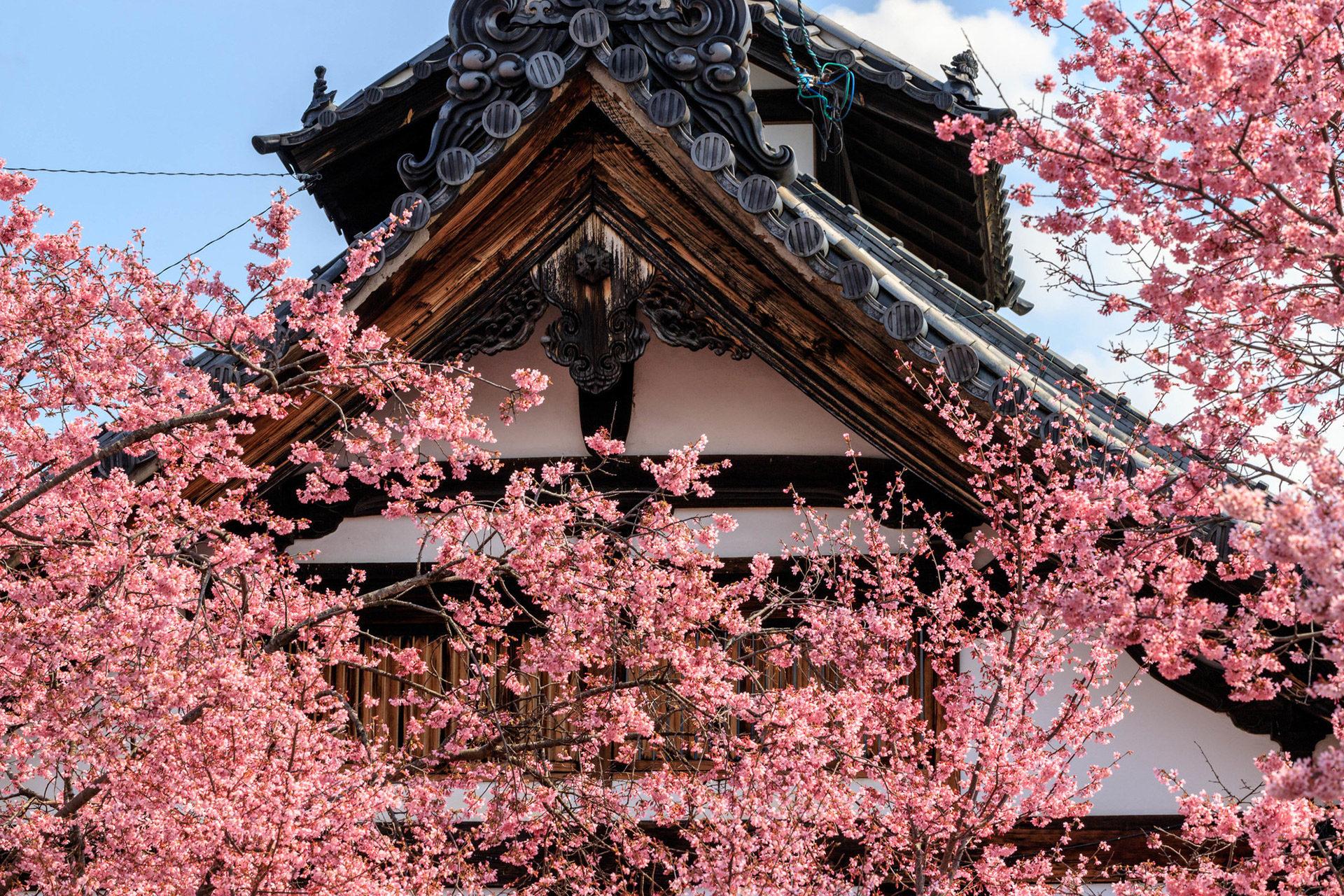 京都最早開放的櫻花景點是?